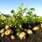 Какие страны являются крупнейшими производителями картофеля: ТОП-10