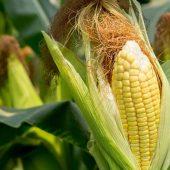 Рейтинг крупнейших производителей кукурузы